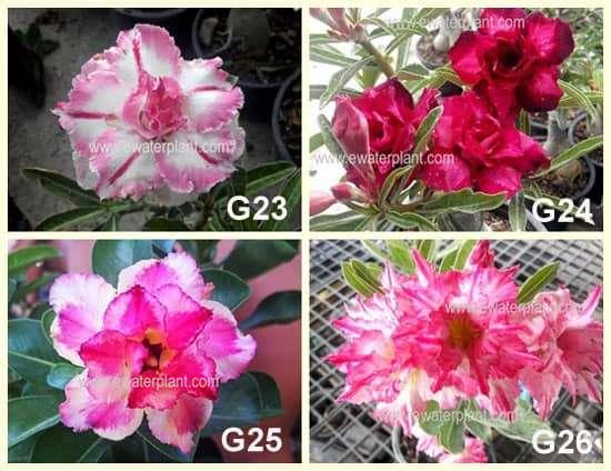Thai Adenium Catalog