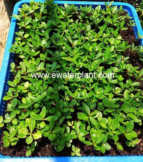 Adenium seed cultivate