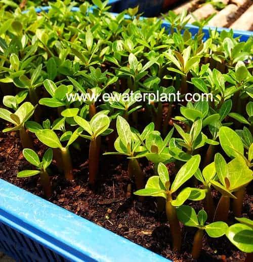 Thai rosy Adenium seed cultivate