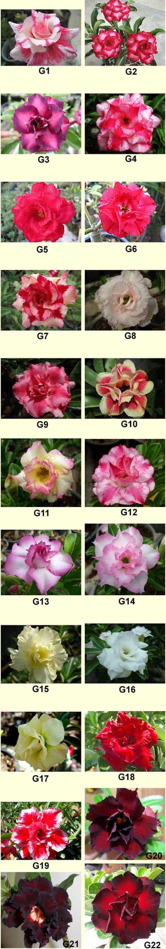 New rosy adenium thailand cheap desert rose plant for sale adenium set g 2018 izmirmasajfo