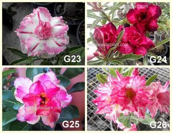 Sell Adenium plant