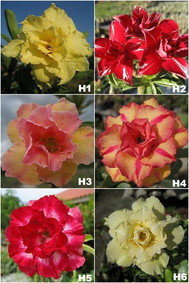 Grafted Adenium plant for sale in Thailand