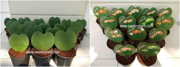 Hoya-Heart-shape
