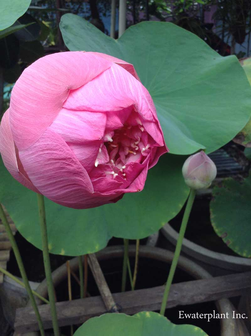 Nelumbo Lotus Cultivar In Thailand Lotus Plant For Pond