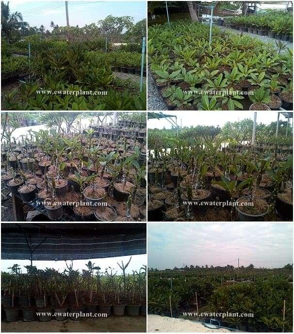 Plumeria-Thailand-Nursery