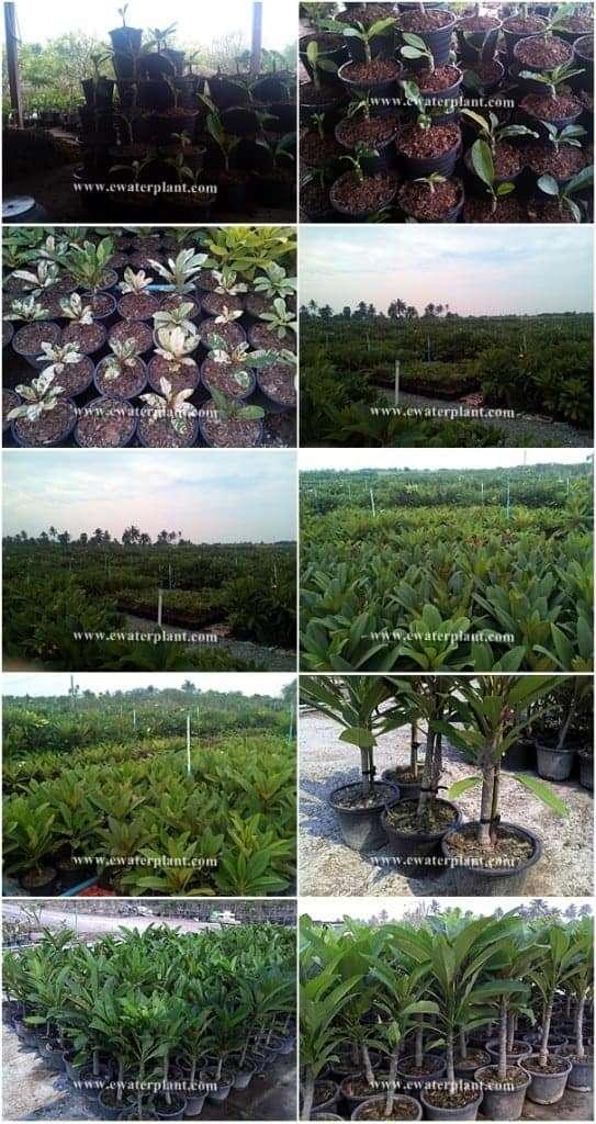 Visit Plumeria garden in Thailand