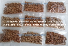 rosy-adenium-seed-thai