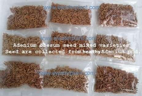 Adenium obesum seed