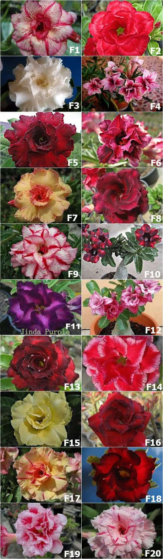 Rosy-Adenium-Thailand-For-Sale-2016
