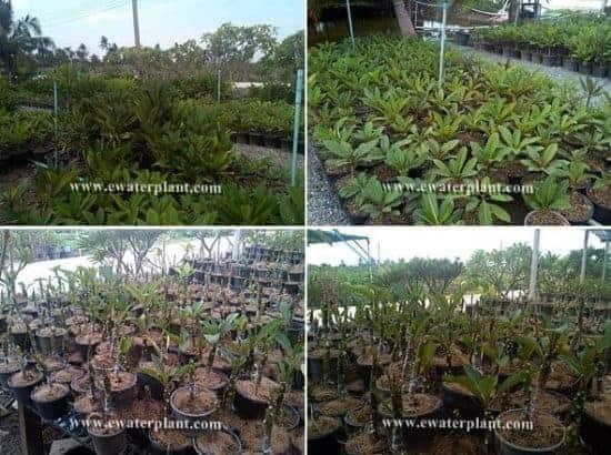 Big Plumeria garden