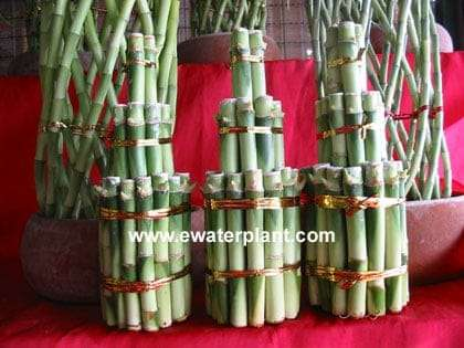Lucky-bamboo-3-Tower