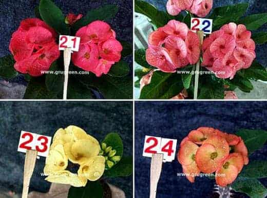 Thai Euphorbia Milii New Hybrids 2016 Set A Size Available 4 Inch The Most Famous Crown Of Thorns In This Year More 70 Varieties