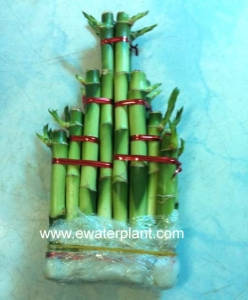 Lucky bamboo China wall
