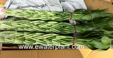 Lucky bamboo braided 10 stings