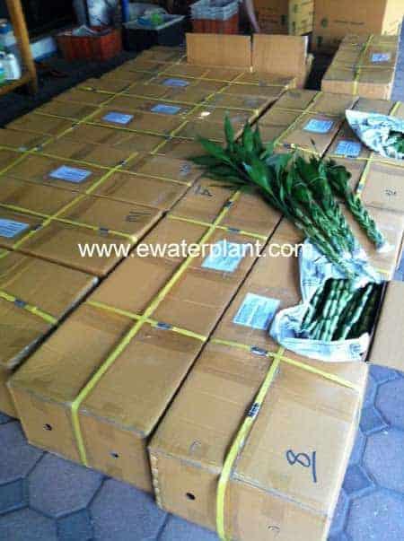 Packing carton lucky bamboo