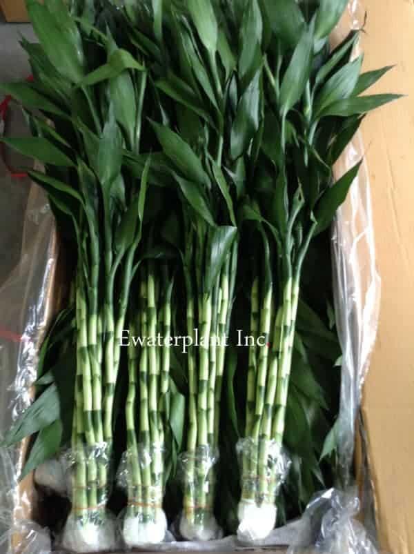 Dracaena lucky bamboo photos thai suppliers