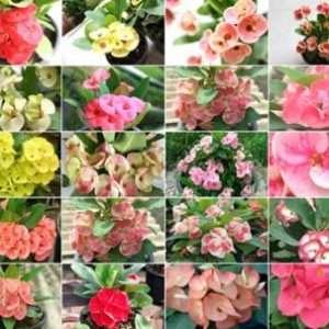 Catalog Euphorbia milii for sale