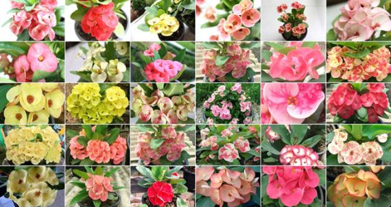 Catalog Euphorbia milii for sale