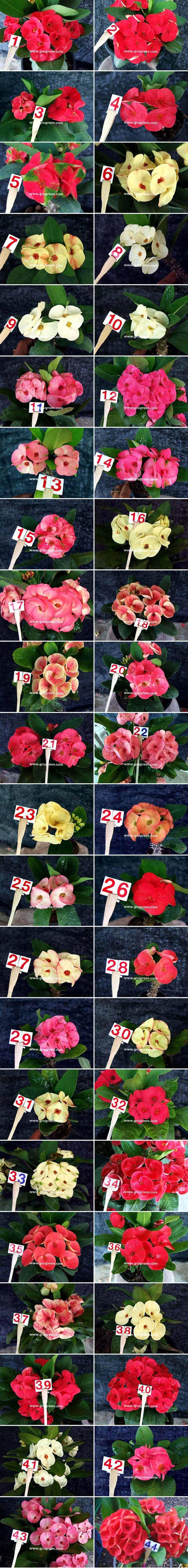 Thai-Euphorbia-milii-Catalog