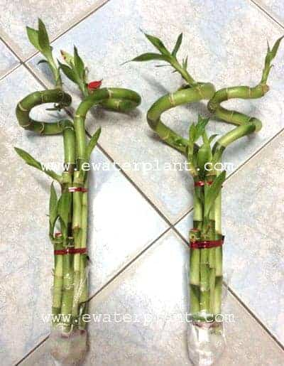 Lucky bamboo double coil shoot