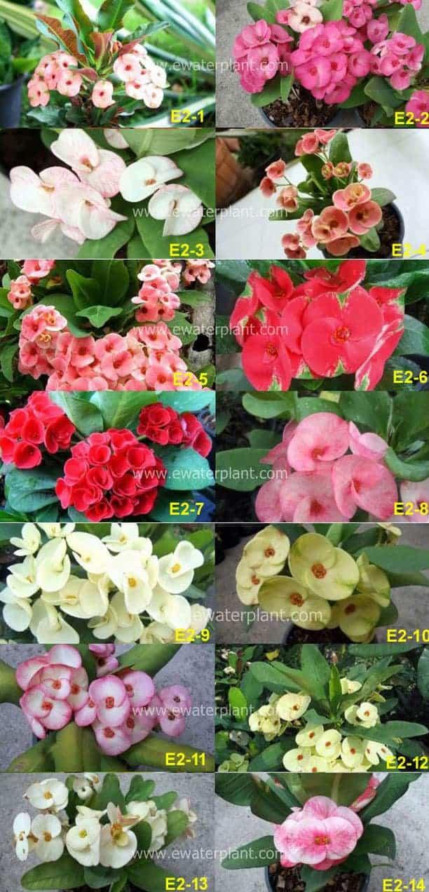 Thailand-Euphorbia-milii-sa