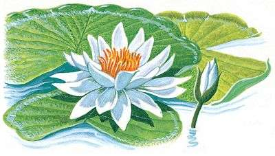 Nymphaea water lily button
