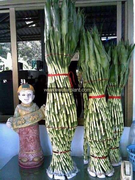 Lucky bamboo woven