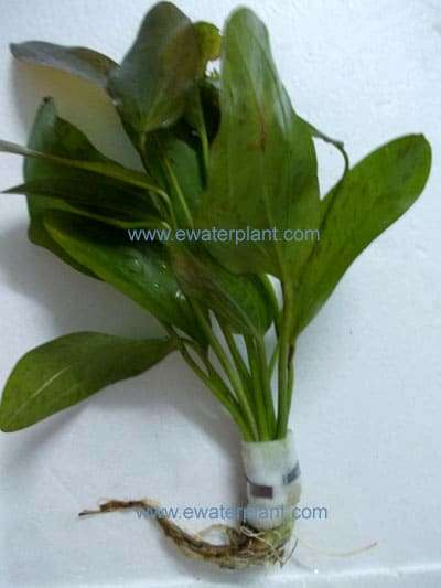 aquarium plant echinodorus