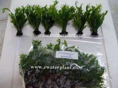 sell aquarium plant microrium