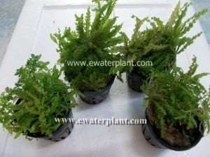 Thai aquarium plant dow noi
