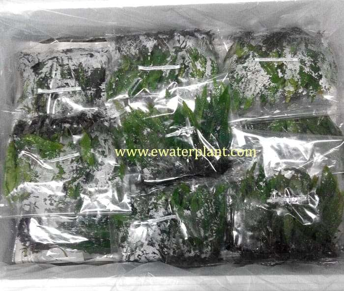 packing aquarium plant