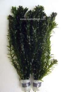 sell aquarium plant elodia
