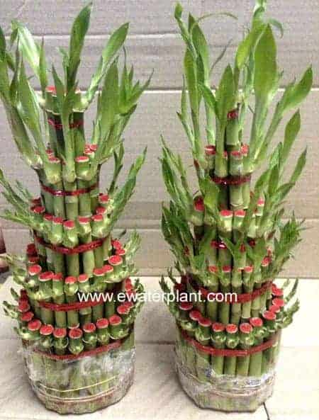 Lucky bamboo tower 5 tiers