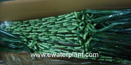 Lucky bamboo packing