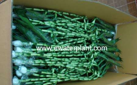 Spiral-Lucky-bamboo-supplier