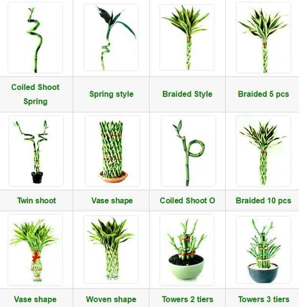 Dracaena Lucky Bamboo Collections