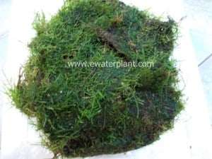 aqua moss for aquarium