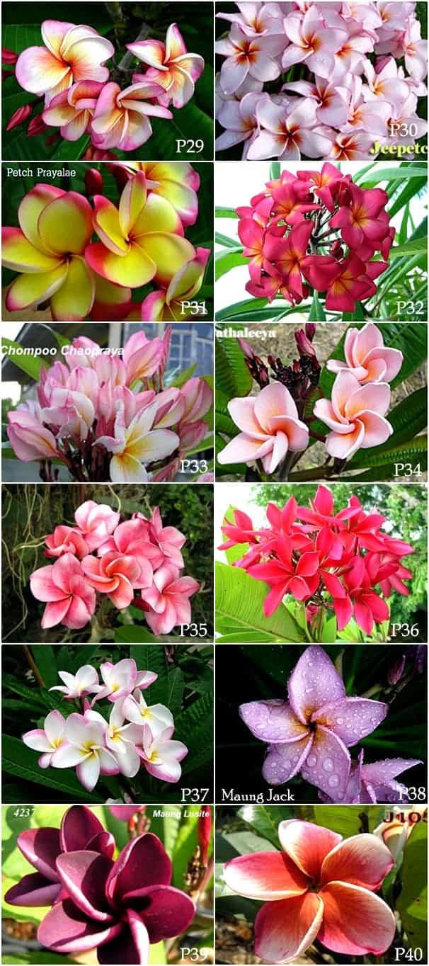Plumeria-variety-Thailand