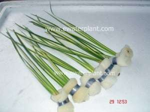 Thai aquarium plant acorus