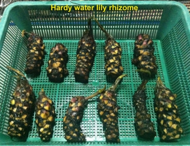 water lily rhizome for sale