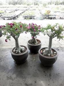 Multi color flower Adenium