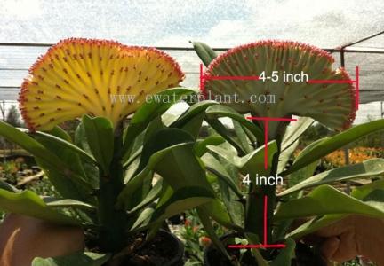 Sell euphorbia lactea Thailand