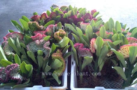 buy euphorbia lactea crest thailand
