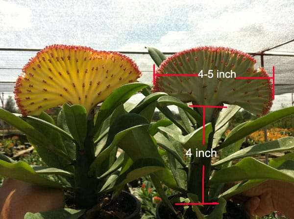 Euphorbia Yok Siam