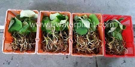Thai Lotus plant rhizome