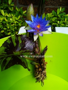 Thai Water lily variegate leave