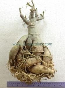 Thailand Adenium big caudex