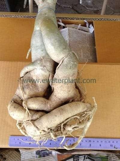 Thailand Adenium bare root plant