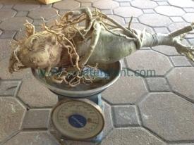 Thai-Adenium-caudex-8inch20150602-18