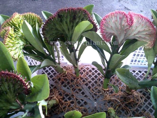 Cheap price euphorbia lactea Thailand